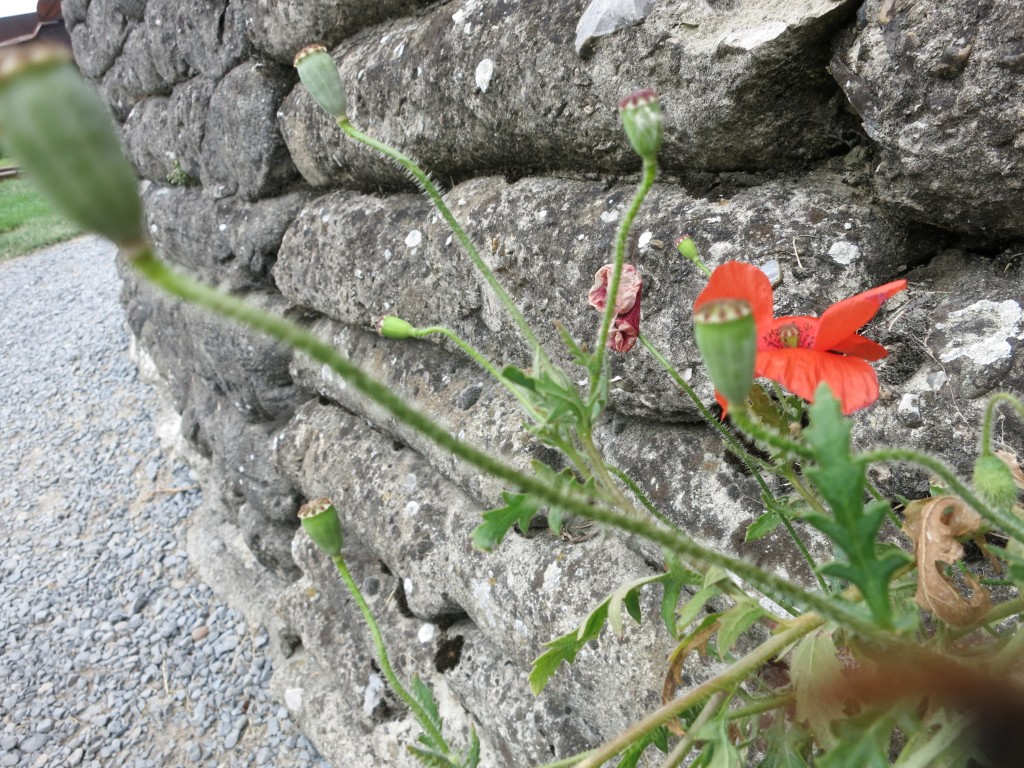 Poppies still grow in the trenches