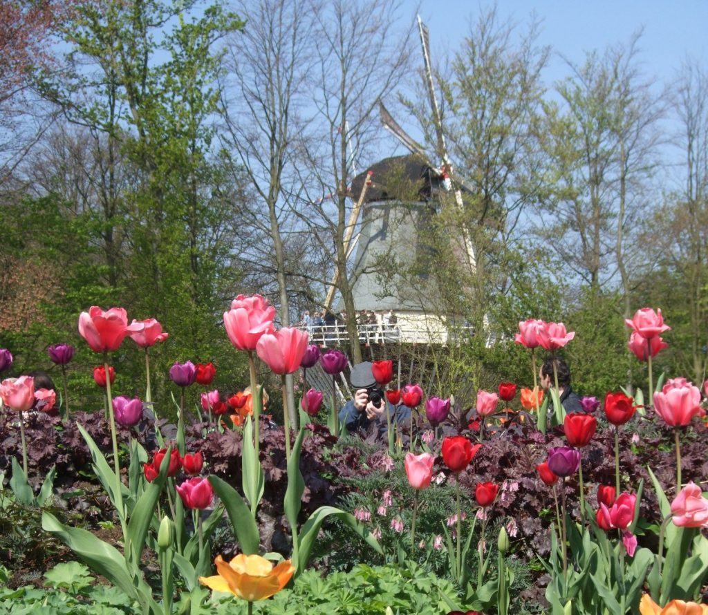 In the foreground, a cluster of tulips, mostly in pinks, purples and oranges. Behind, through some trees, an old-fashioned windmill is visible.