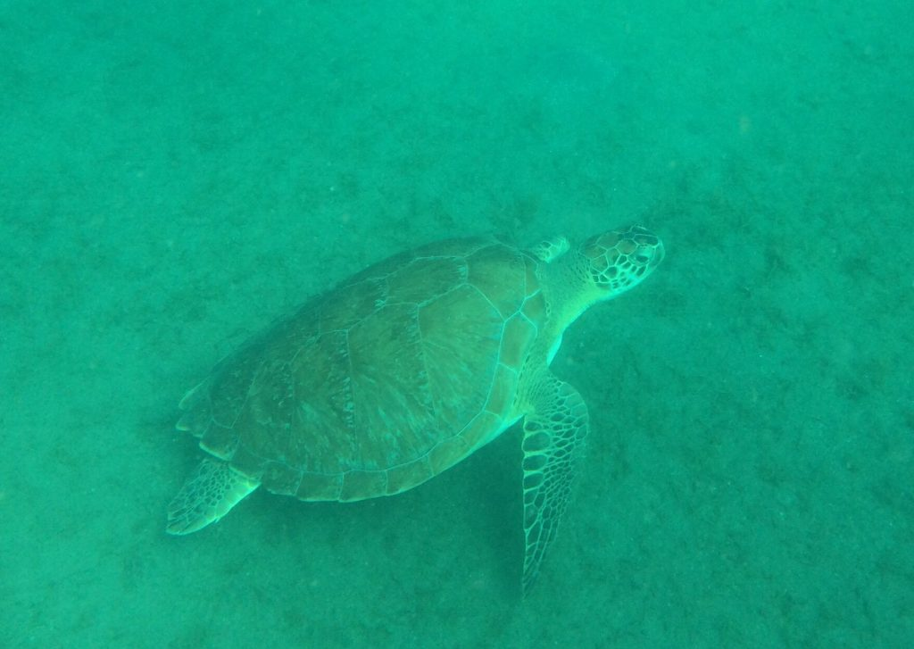 photo shows a turtle on the snorkel trip