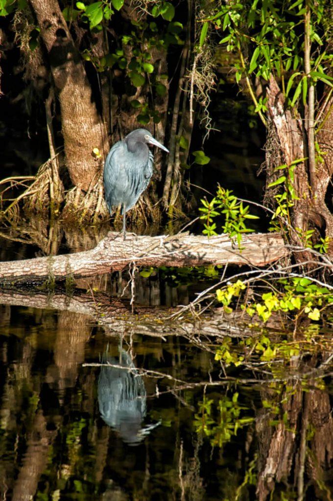 a water bird in the Everglades near Marco Island