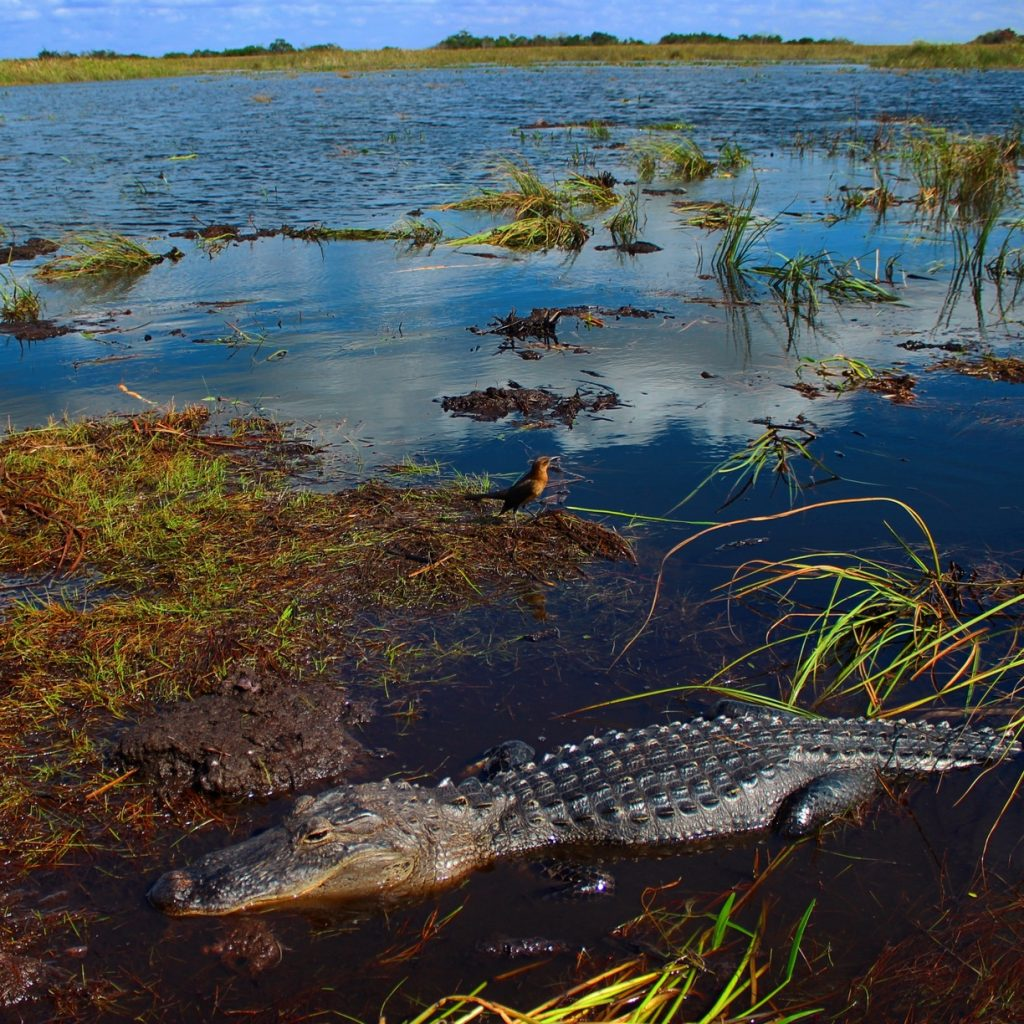an alligator and a bird in a marsh area of the Everglades near Marco Island