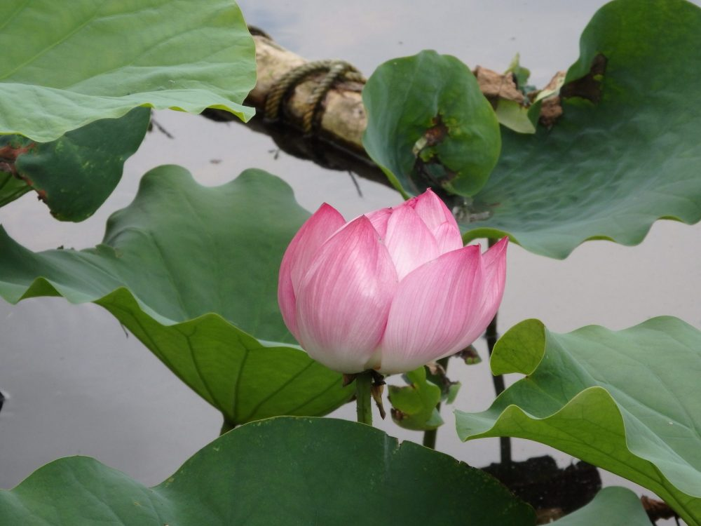 close-up of a lotus flower in Ueno Park, Tokyo
