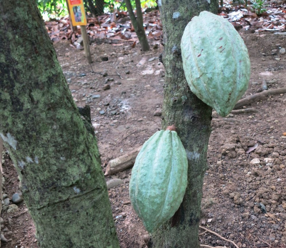 Cacao pods in the garden of the museum. The cacao beans are inside.