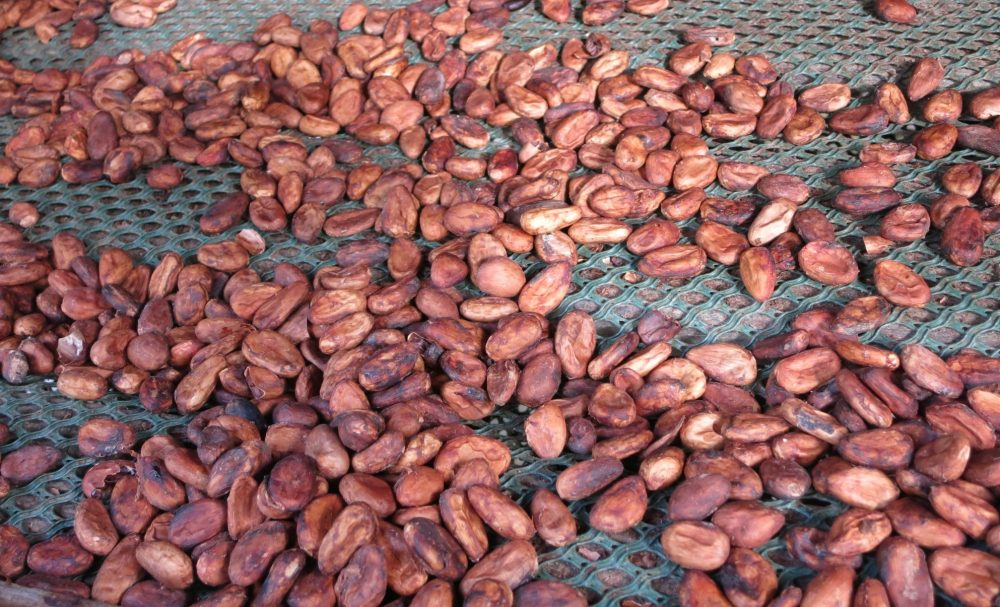 Cacao beans drying at the Chocolate Museum in Guadeloupe