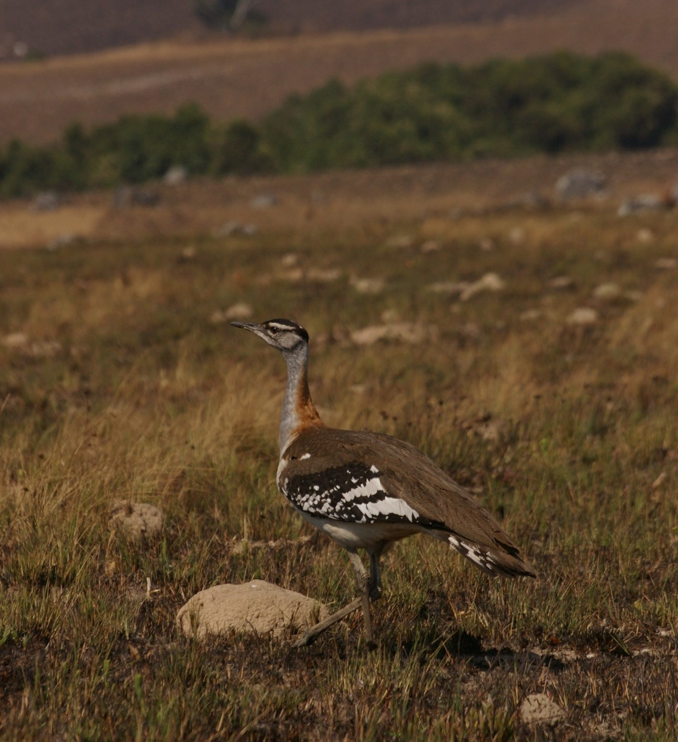 a Stanley's Bustard, spotted in Nyika National Park in Malawi (photo courtesy of Anne Hellersmith)