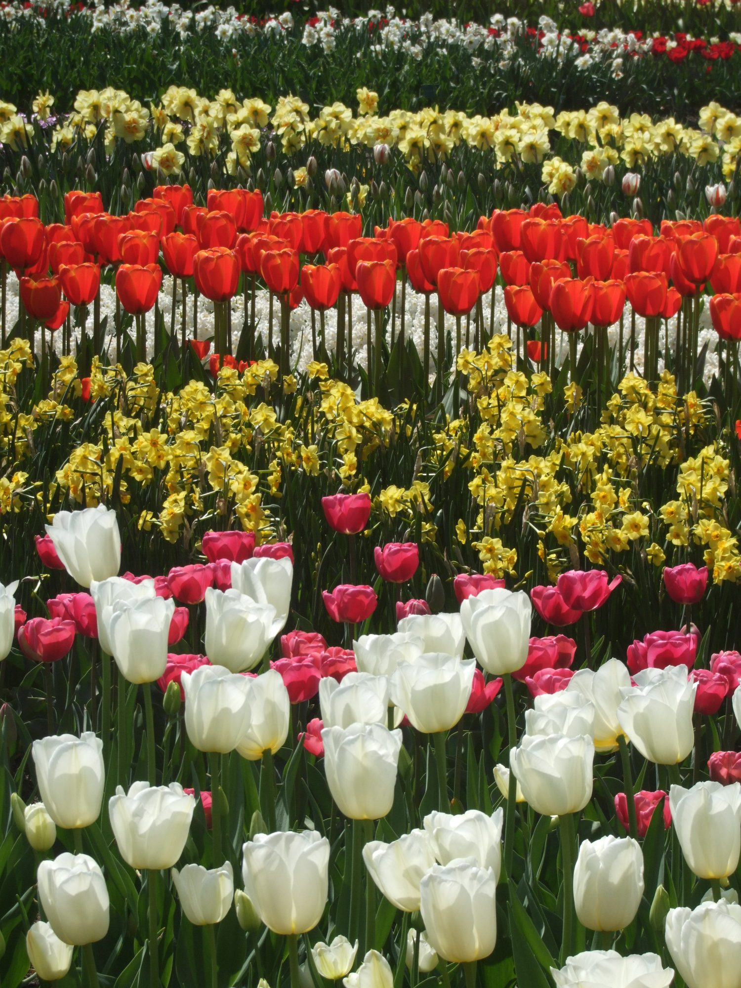 Colorful bulb gardens at Keukenhof, in the Netherlands