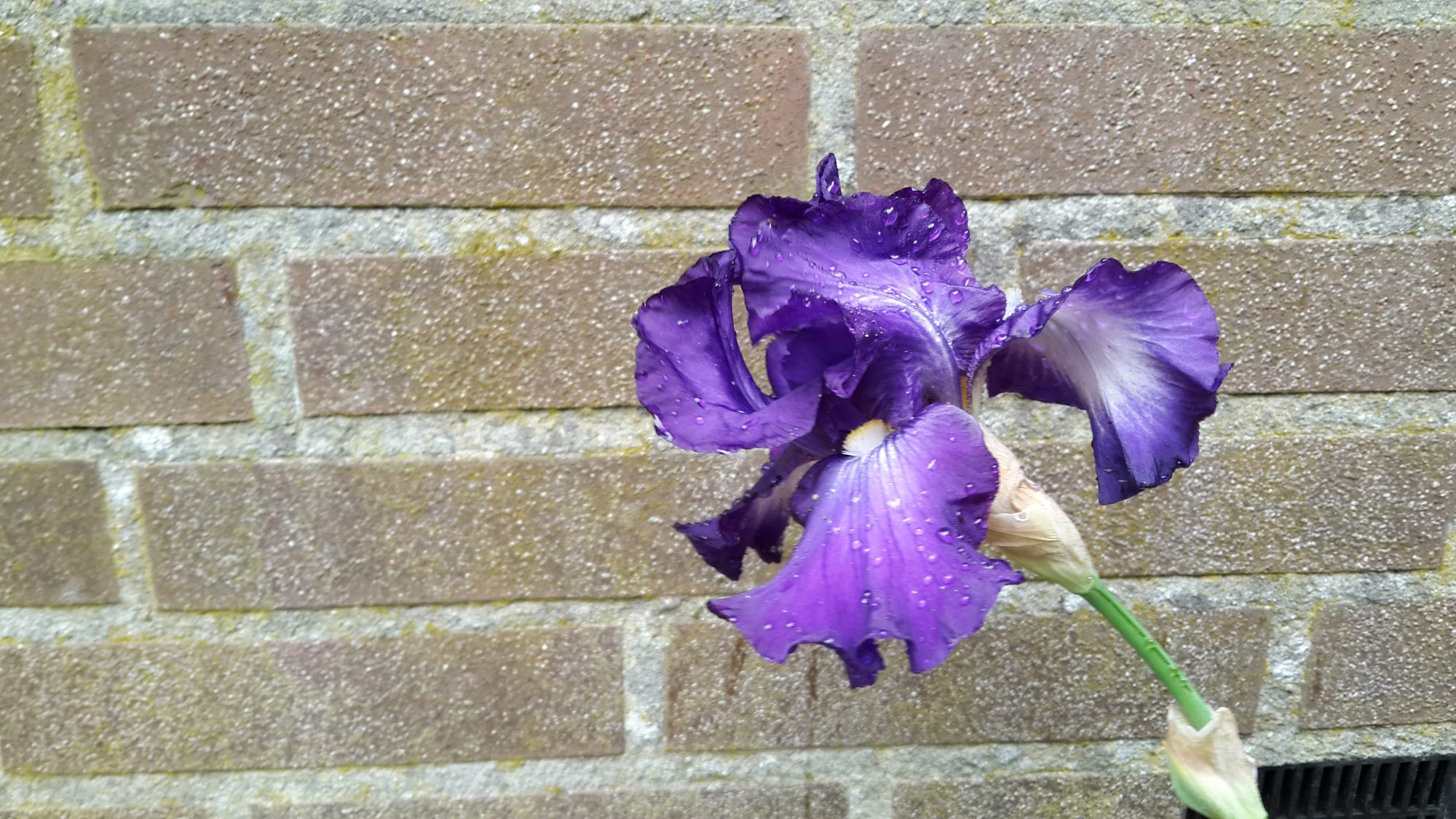 My single Lovely Leah iris. I bought the rhizome last fall, just after they were registered.