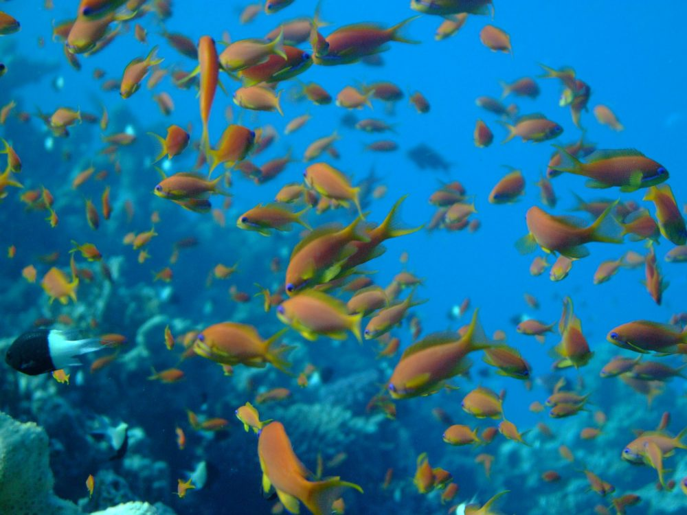 Fish on a coral reef in the Red Sea along the Egyptian coast