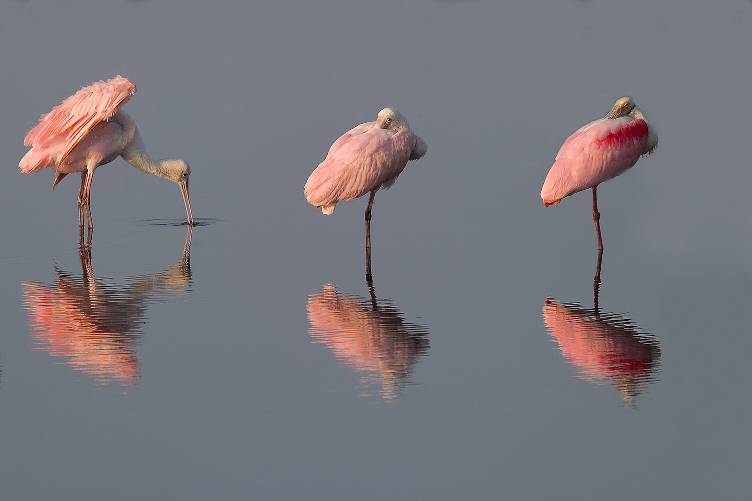 Three reflected roseate spoonbills at Merritt Island National Wildlife Refuge. Image via Flickr by Matthew Paulson