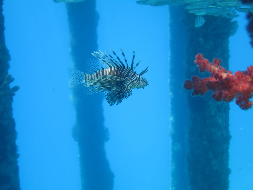 A lionfish in Jordan, seen against bright blue water with a few blurry vertical poles behind. The lionfish is striped brown and white, with elegant tails of fins along its back and on its side. The lionfish is facing to the right, where some bright red coral extends from the right side of the picture.