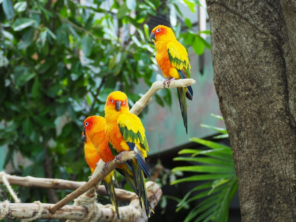 Parrots posing for a picture. These are sun conures.