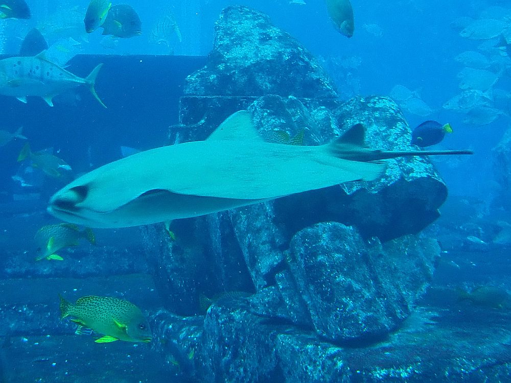 "A large ray glides past the ""ruins of Atlantis"" in the Ambassador Lagoon. Atlantis Aquarium the Lost Chambers in Dubai."