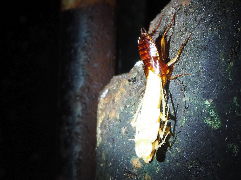 The old shell is dark brown. The front end of the cockroach emerging from the old shell is almost white in the light of the flasklight. Its legs are barbed.