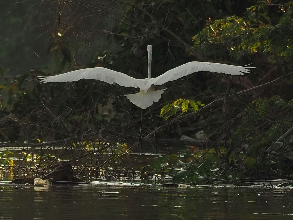 A white egret, spotted along the Kinabatangan River in Sabah, Malaysian Borneo