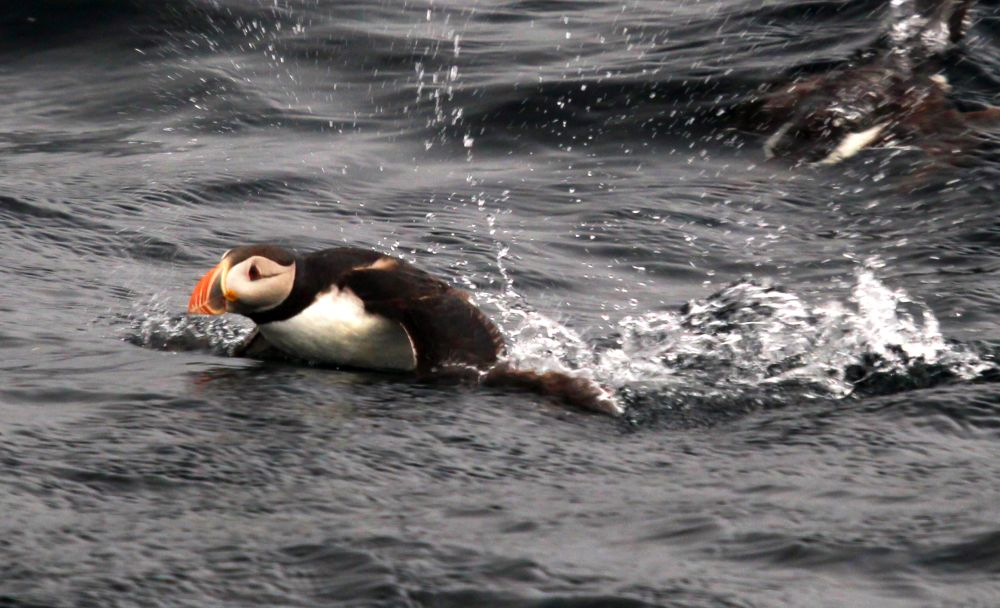 The puffin is black on its back and white on its belly, and has a funny rounded beak that is orange and yellow. This one is half out of the water as if it's doing a butterfly stroke.