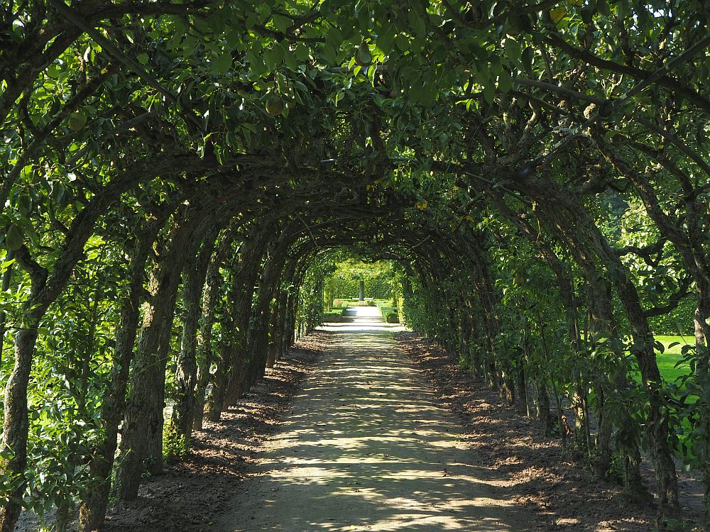 In the orchard at Menkemaborg, the photo shows a wide path straight ahead, with green, leafy trunks and branches bending over it, forming a dark archway. The sunlight comes through here and there, dappling the ground.