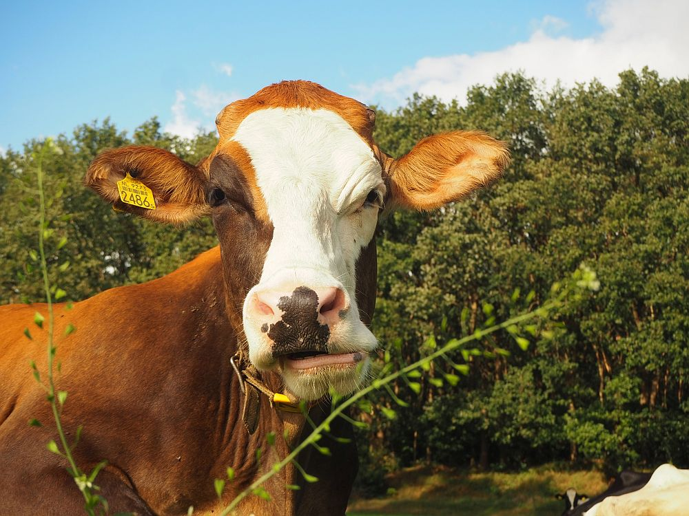 A brown cow with a white face looks straight at the camera. She has a yellow numbered tag attached to one ear.