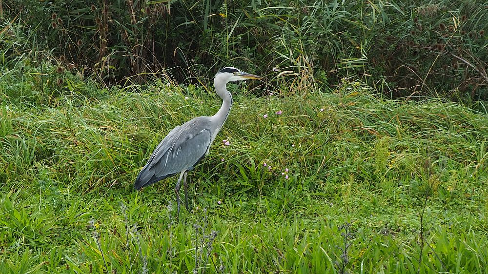 The gray heron is seen from the side, walking through high grass. It is gray, obviously, but the long neck is a lighter grey and its face is white, but with a black stripe from the eyes to the back of its head. The beak is long and pointed, with a bit of a yellow tinge.