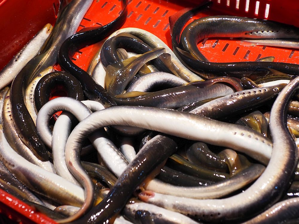 a pile of eels: long and wet-looking, wtih grey on their tops and white on their bellies. Eels are an important tradtional Latvian food.