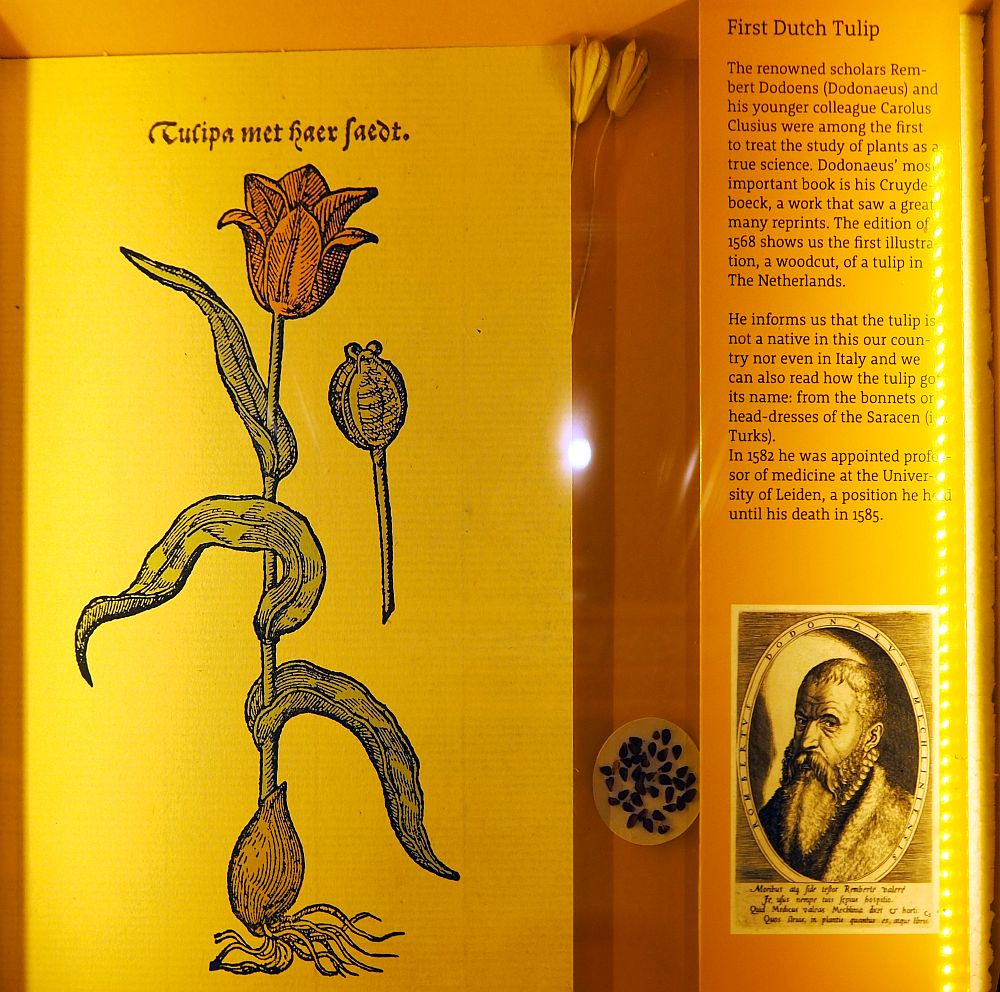 "On the left, a woodcut of a red tulip, labeled as ""tulipa met haer faedt."" Next to it, an explanatory text telling about how two scholars first studied plants in a scientific way and how this woodcut comes from a work Rembert Dodoens wrote. He included the tulips origin and explains its name as coming from a Turks word for bonnets or headdresses. Below that is a small portrait of Dodoens."