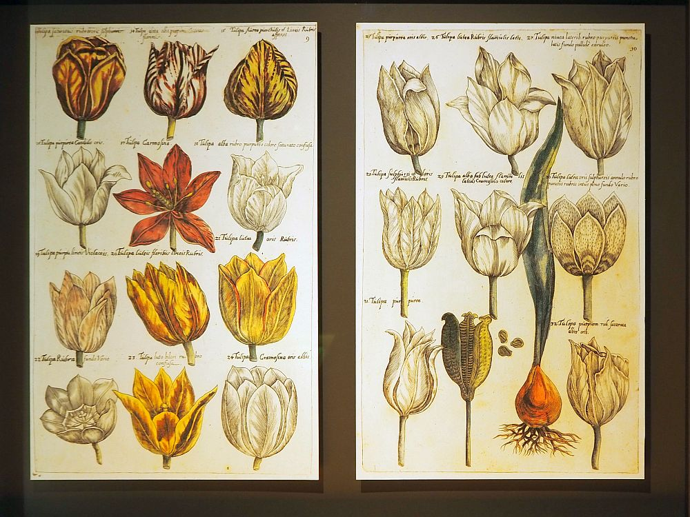 Two pages of the catalogue from the Amsterdam Tulip Museum. The left-hand one shows 12 different tulips, mostly white or yellow but with one red one. On the right are nine tulips, all white, and a drawing of a tulip bulb with the roots showing and green leaves growing from it.