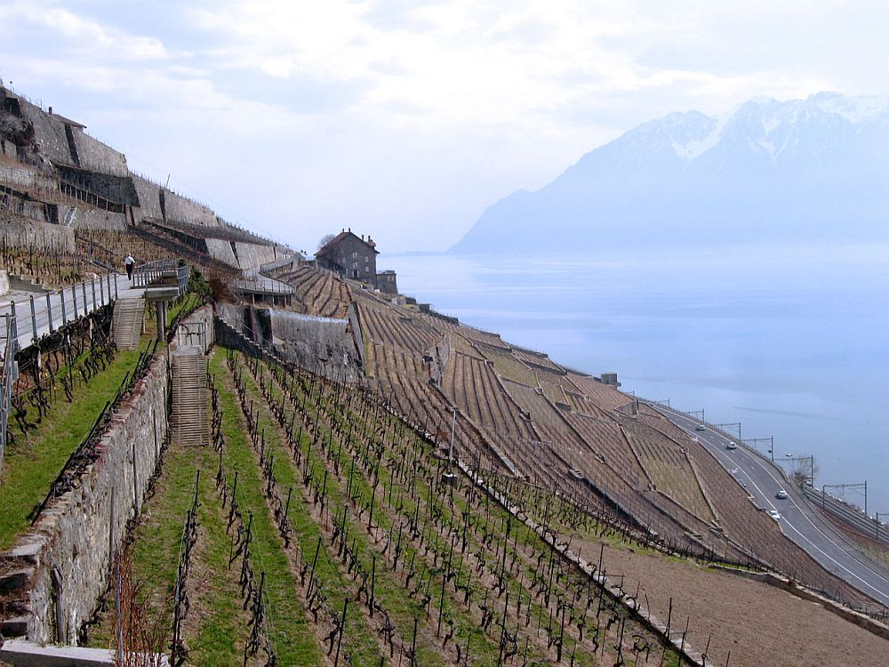 A vineyard on the left: neat rows of cut grapevines on a steep slope. Below, on the right: a lake, with dim mountains in the distance.