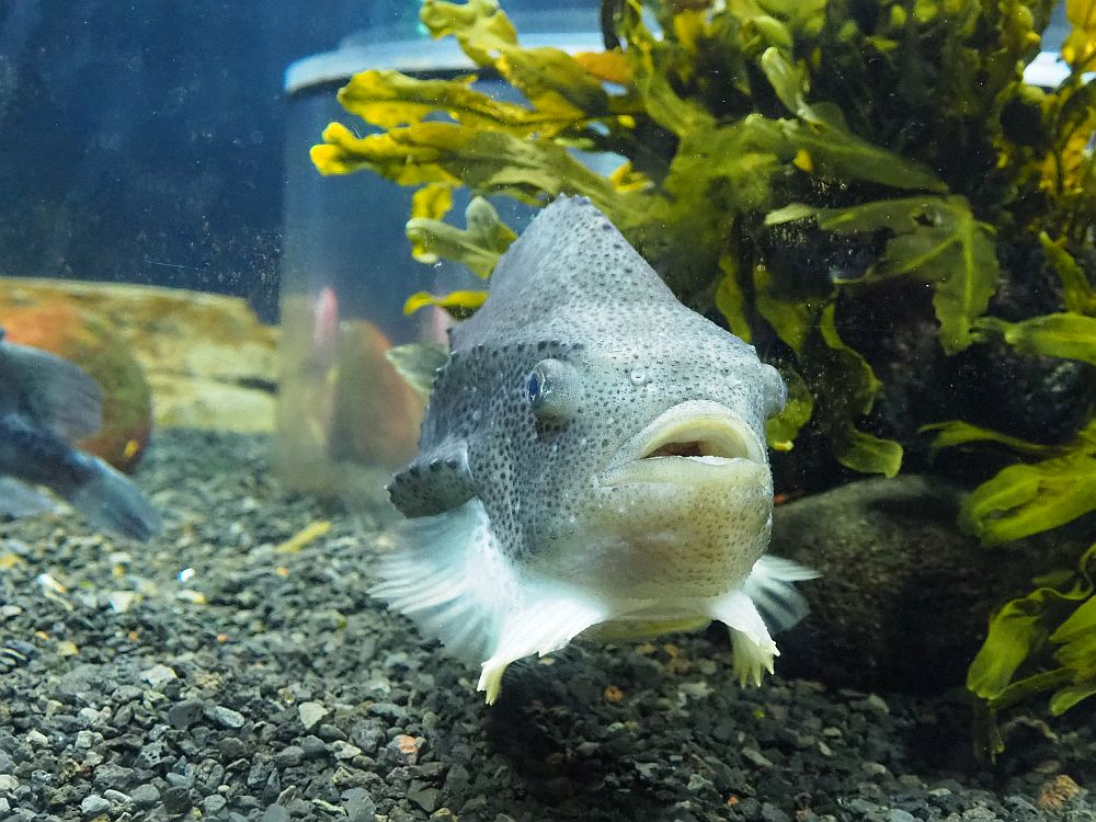 A lumpy-looking grey fish faces the camera: gray with darker gray spots, next to a clump of seaweed.