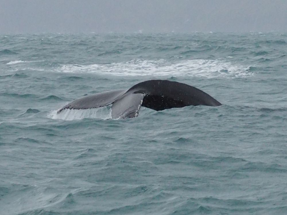 A whale's tail, as it goes back under the water. The tail fin is low to the water, preparing to flip it straight up.