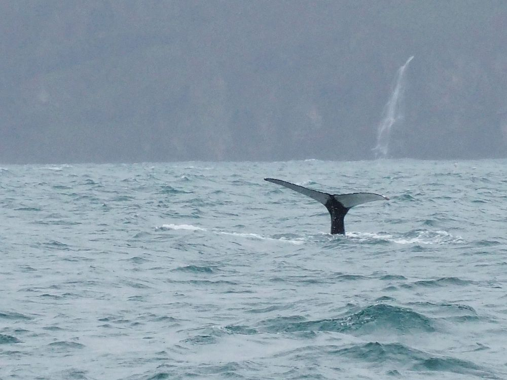 The whale's tail, this time seen from almost exactly behind it. The two sides of the tail are white on the underside. The water is grey, and the land visible dimly behind is also grey, with a narrow waterfall visible as well.