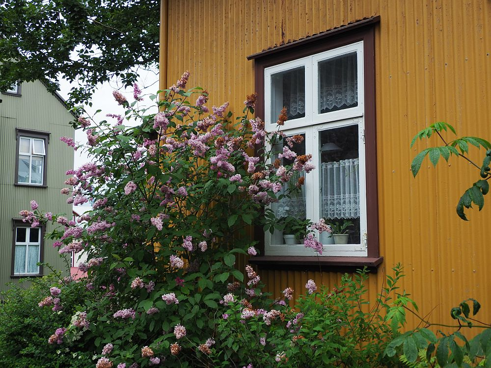This photo is a close-up of one window in a mustard-yellow house. the window panes are edged in white and the frame around the window is brown. In front is a tall bush partly next to and partly in front of the wondow. It is covered with pink flowers.