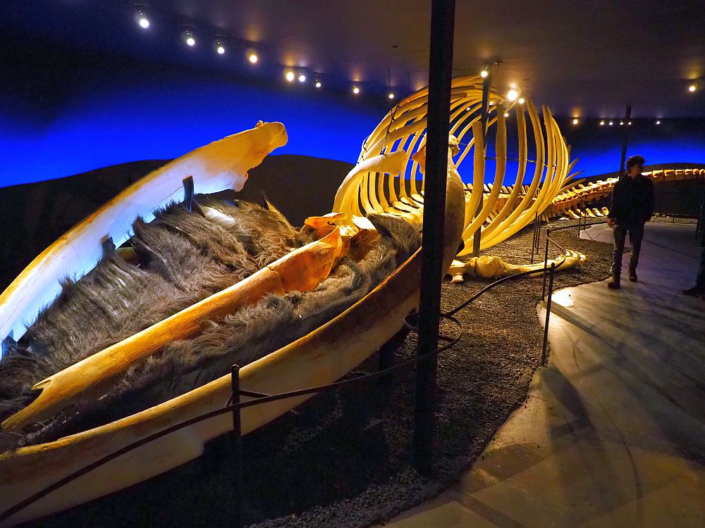 The skeleton fills the length of a long room. A person stands next to its middle and the ribs are almost twice as tall as he is. The jawbone at its near end is filled with baleen, which looks like brown hair.