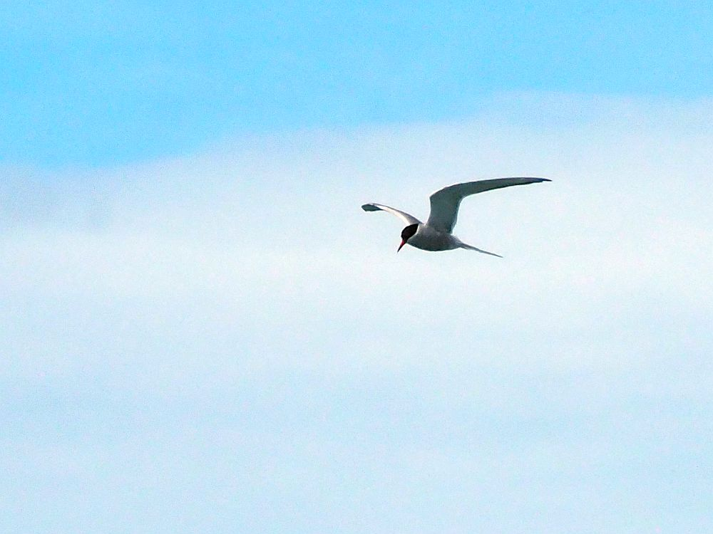 A tern, flying. It is whitish-gray, with a black head, a long pointy tail and a pointy orange beak.