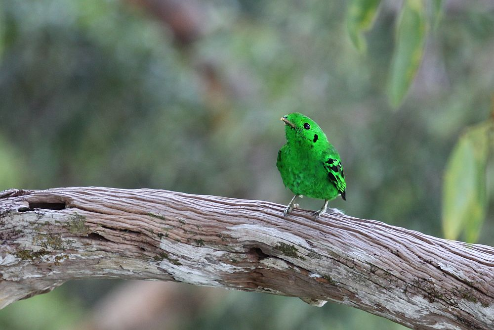 A small, brilliant green bird standing on a thick branch. Flecks of black on the neck and wings.