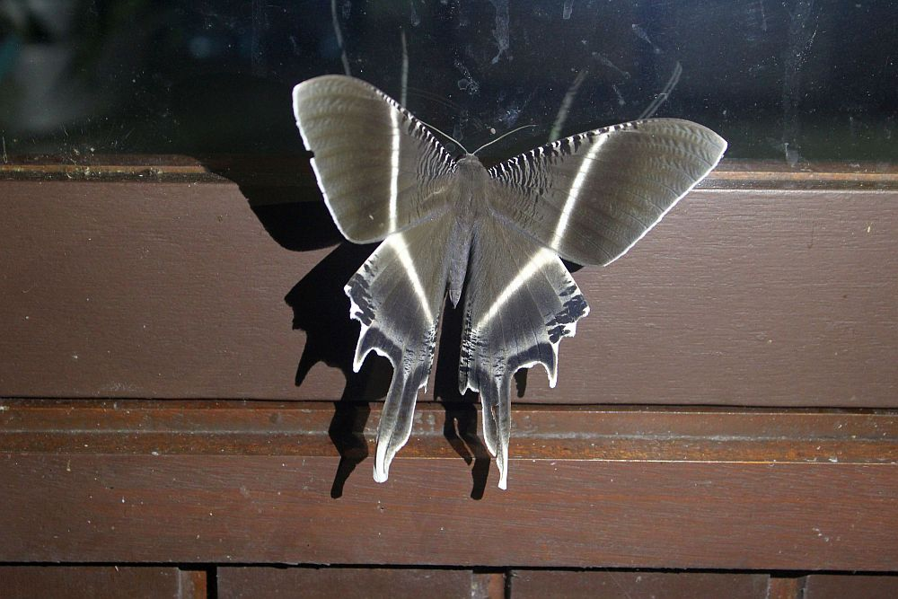 A gray moth with stripes of white down the middle of its wings, and long extensions at the tail end of the wings.