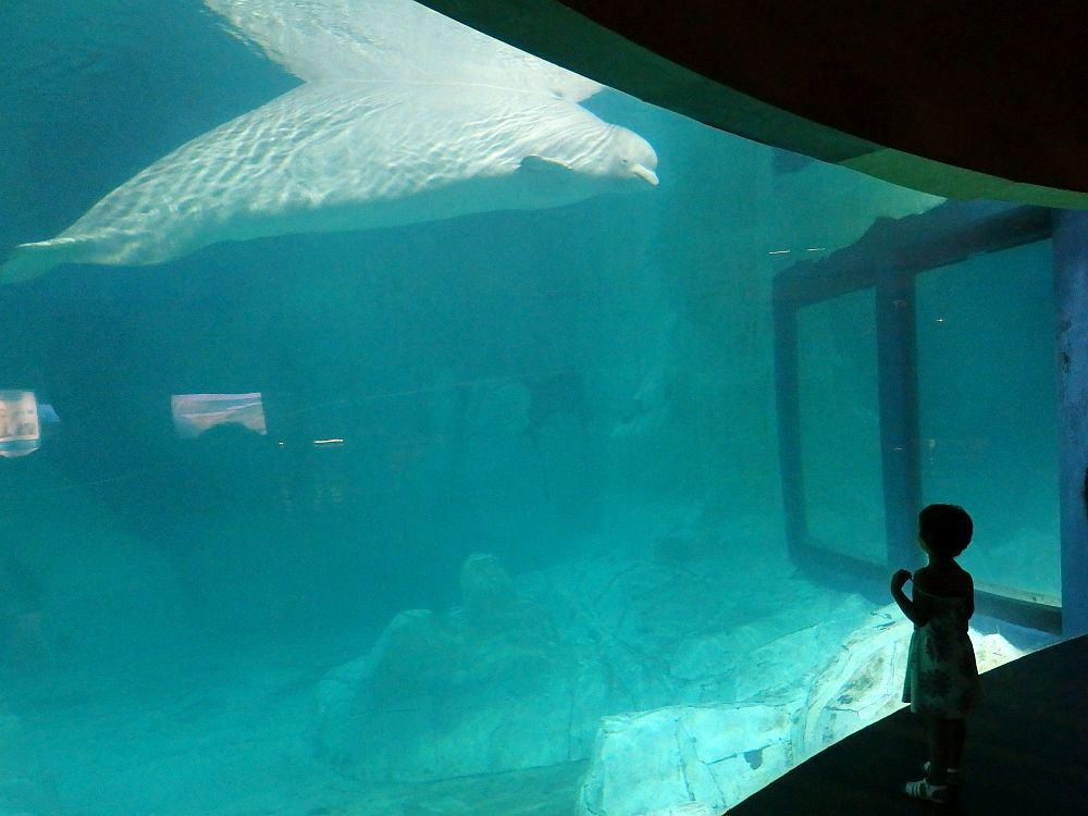 A big empty expanse of blue water behind a large glass. A small child in silhouette looks at the whale through the glass. The whale is white and sits at the surface of the water, seemingly looking down at the child.