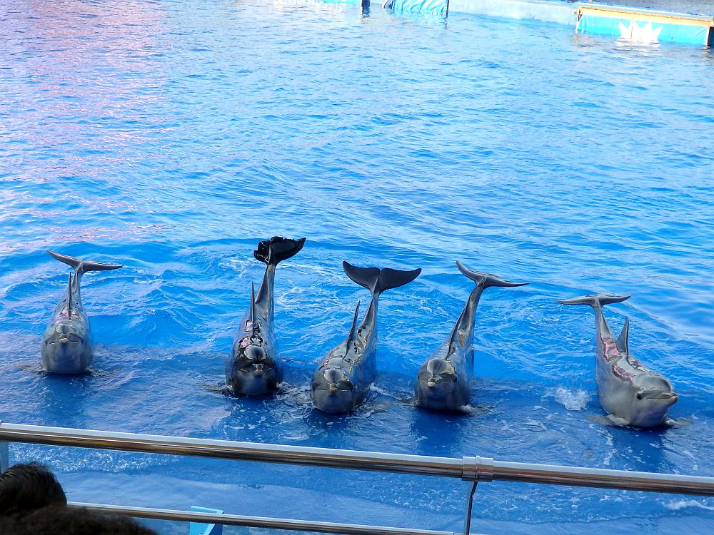 A row of five dolphins perch on the edge of the pool next to each other, their tails raised above the water behind them.